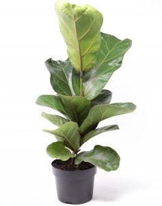 Ficus lyrata colomnaire