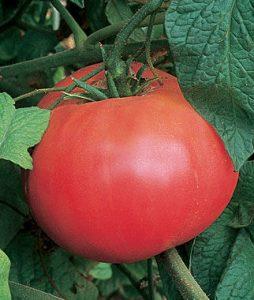 Tomate Brandywine Rouge