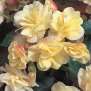 Begonia Solenia Light Yellow