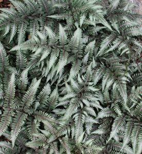 Athyrium niponicum Godzilla
