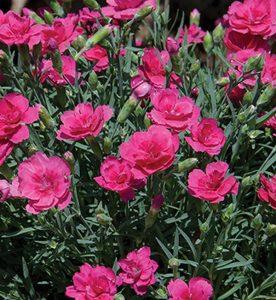 Dianthus x Everlast Dark Pink