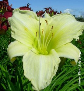 Hemerocallis Ice Carnival