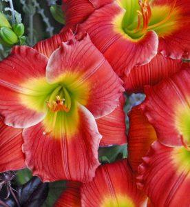 Hemerocallis Red Hot Return