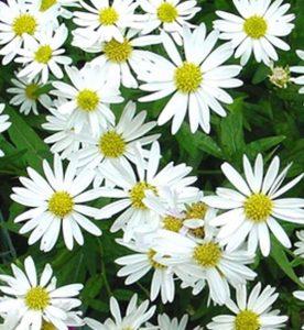 Kalimeris integrifolia Daisy Mae