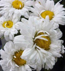 Leucanthemum superbum Freak