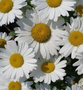 Leucanthemum superbum snowcap