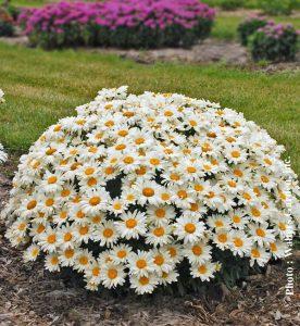 Leucanthemum superbum Whoops-a-Daisy