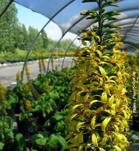Ligularia stenocephala The Rocket