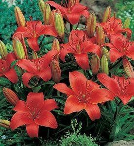 Lilium asiatica Crimson Pixie