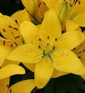 Lilium asiatica Golden Matrix