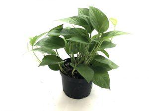 Scindapsus Jade / Pothos / Epipremnum