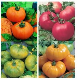 Tomate «Chef's choice» mélangée