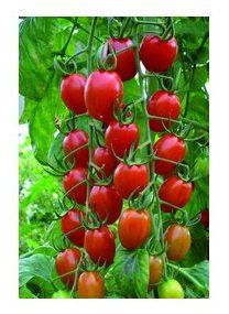 Tomate Raisin rouge