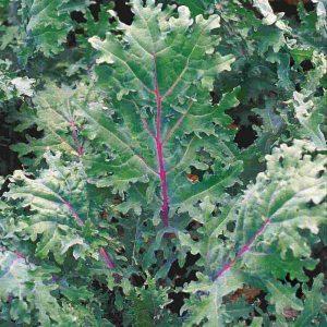 Chou Kale sibérien «Sow Easy»