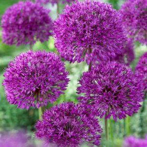 Bulbes d'allium «Purple Sensation» paquet de 5