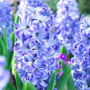 Bulbes de hyacinthus «Aqua»  paquet de 4