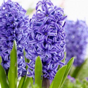 Bulbes de hyacinthus «Blue Pearl»  paquet de 4