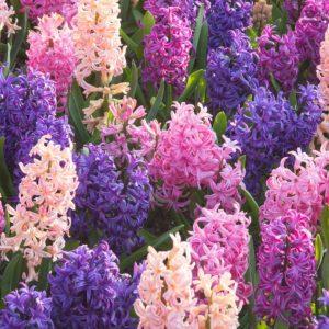 Bulbes de hyacinthus «Cotton Candy» mix paquet de 4