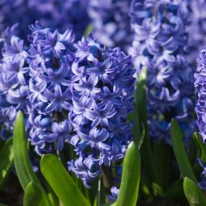 Bulbes de hyacinthus «Delft Blue»  paquet de 4