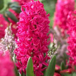 Bulbes de hyacinthus «Jan Bos»  paquet de 4