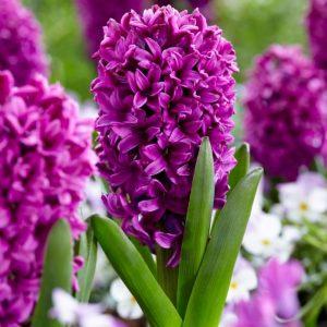 Bulbes de hyacinthus «Miss Saïgon»  paquet de 4