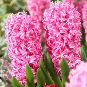 Bulbes de hyacinthus «Pink Pearl»  paquet de 4