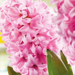 Bulbes de hyacinthus «Pink Surprise»  paquet de 4