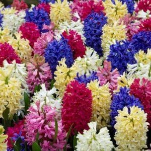Bulbes de hyacinthus «Rainbow» mix paquet de 4