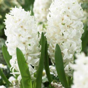 Bulbes de hyacinthus «White Pearl»  paquet de 4