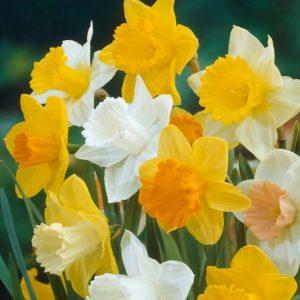 Bulbes de jonquilles «Large Flowering Mix» paquet de 8