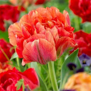 Bulbes de tulipes «Double Gudoschnik» paquet de 10