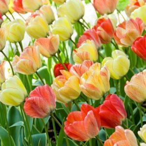 Bulbes de tulipes «Silver Stream» paquet de 10