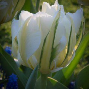 Bulbes de tulipes «Exotic Emperor» paquet de 10