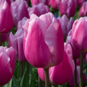 Bulbes de tulipes «Aafke» paquet de 10