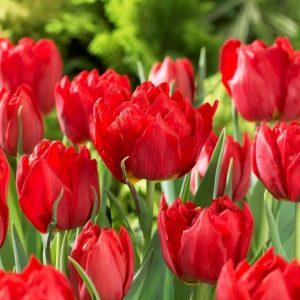 Bulbes de tulipes «Abba» paquet de 10