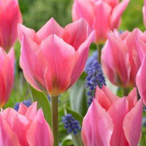 Bulbes de tulipes «Albert Heijn» paquet de 10