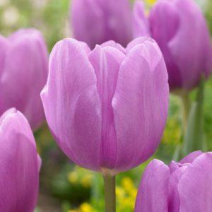 Bulbes de tulipes «Alibi» paquet de 10