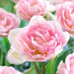 Bulbes de tulipes «Angelique» paquet de 10