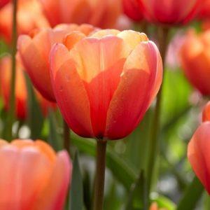 Bulbes de tulipes «Apricot Impression» paquet de 10