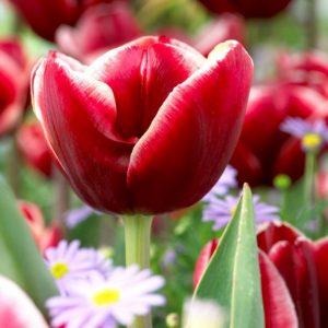Bulbes de tulipes «Armani» paquet de 10