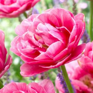 Bulbes de tulipes «Aveyron» paquet de 10