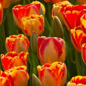 Bulbes de tulipes «Banja Luka» paquet de 10