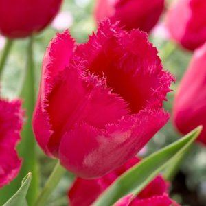 Bulbes de tulipes «Burgundy Lace» paquet de 10