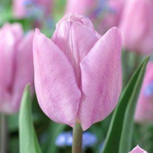 Bulbes de tulipes «Candy Prince» paquet de 10