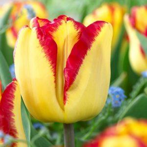 Bulbes de tulipes «Cape Town» paquet de 10
