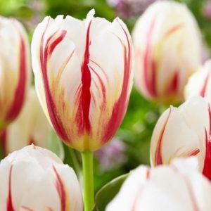 Bulbes de tulipes «Carnaval de Rio» paquet de 10