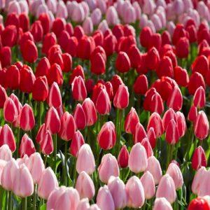 Bulbes de tulipes «Delight Mix» paquet de 10