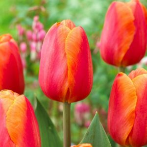 Bulbes de tulipes «Delta Storm» paquet de 10