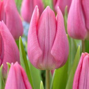 Bulbes de tulipes «Delta Sugar» paquet de 10