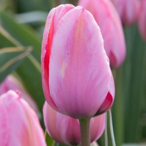 Bulbes de tulipes «Design Impression» paquet de 10